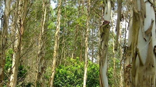 高效桉树肥